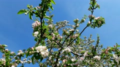Flowering branches of apple on sky background Stock Footage