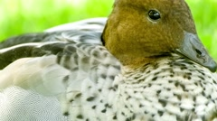 Closeup of beautiful Australian wood duck with brown feathered head and black Stock Footage