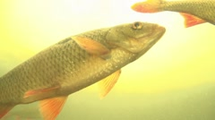 Rudd - Scardinius erythrophthalmus - in a lake Stock Footage