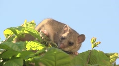 Dormouse on a tree Stock Footage