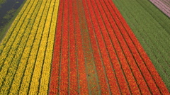 AERIAL: Stunning colorful rows of rich flowering tulips on big vast field Stock Footage