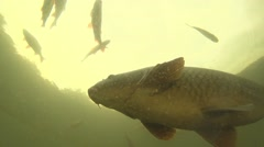Carp under water Stock Footage