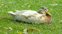 Beautiful gentle white duck resting and sleeping on green grass Stock Footage