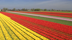 AERIAL: Stunning red, pink and yellow rows of rich flowering tulips on big field Stock Footage