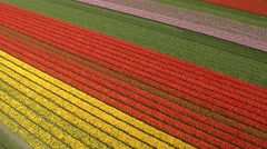 AERIAL: Stunning red, pink and yellow rows of rich blooming tulips on big field Stock Footage
