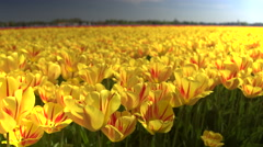 CLOSE UP: Endless field of stunning red and yellow tulips moving in the wind Stock Footage