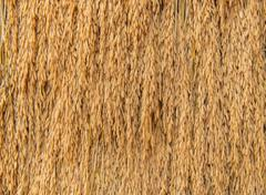 Pile of paddy bundle on the rice field after harvest Stock Photos