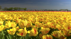 CLOSE UP: Big vast field of stunning red and yellow tulips swaying in the wind Stock Footage