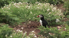 Puffin standing on rock with grass and green vegitation Stock Footage