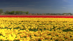 CLOSE UP: Big vast field of stunning red and yellow tulips dancing in the wind Stock Footage