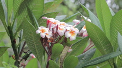 White pink  Plumeria tree or pagoda tree with flowers. Stock Footage