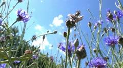 Cornflower in a field Stock Footage
