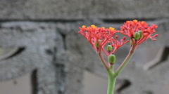 Buddha belly plant (Jatropha podragrica), herb, to stop breeding Stock Footage