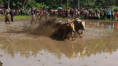 Unidentified jockey takes part in a bull race called Pacu Jawi Stock Footage