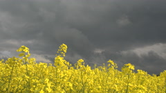 CLOSE UP: Stunning yellow oilseed rape blossoming on farmland on stormy day Stock Footage