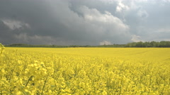 CLOSE UP: Stunning yellow oilseed rape flowers on farm field swaying in storm Stock Footage