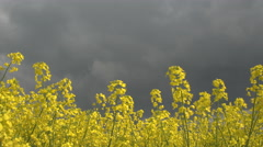 CLOSE UP: Stunning yellow oilseed rape flowers swaying in wind on stormy day Stock Footage