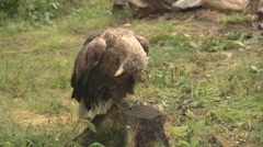 White tailed eagle on the ground Stock Footage