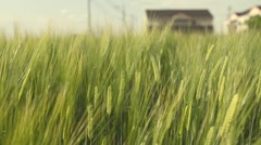 Green Wheat field on windy day and countryside scene Stock Footage