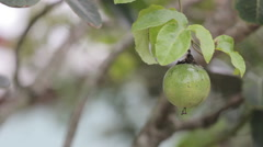 Fresh passion fruit in the garden (Passiflora laurifolia L.) - stock footage