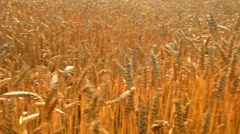 Wheat field caressed by the wind Stock Footage