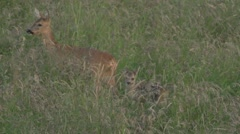 Roe deer and fawn on a meadow Stock Footage
