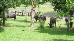 Buffalo grazing on a field Stock Footage