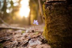 Hepatica nobilis beautiful sunlight Stock Photos