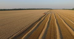Harvester threshing ripe wheat aerial view Stock Footage