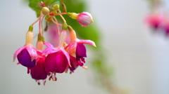 Dew drops on pink flower petals Stock Footage