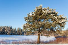 Pine tree at roadside winter Stock Photos