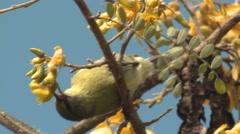 Native Hawaii Bird Amakahi Honeycreeper Feeding on Nectar Mamane Flower Stock Footage