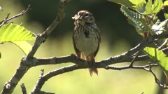 Northern Forest Song Sparrow Bird with Insect Prey in Mouth Stock Footage