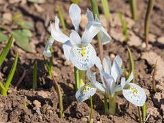 Blue-violet dwarf bulbous irises Stock Photos