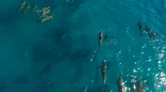 Wild Spinner Dolphins - Leaping and Swimming in Beautiful Hawaiian Waters Stock Footage