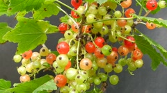 Green and red currants on a black background in the wind. Stock Footage