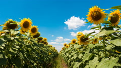 Aisle Of Sunflower And Clouds Time Lapse Stock Footage