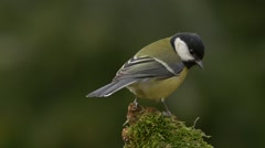 Great tit (Parus major) on a mossy stick (no color grading) Stock Footage