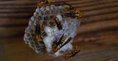 Many Yellow Jacket Wasps Watching Over Hive Close Up 442 10bit, 4K Stock Footage