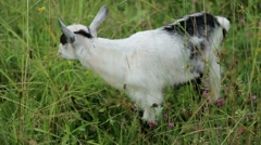 Goat grazing - stock footage
