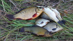 Caught fish lying on the grass Stock Footage
