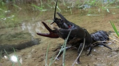 Crawfish  - astacus astacus -  at a lake Stock Footage