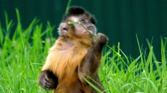 Beautiful Shot: Capuchin Chews a Blade of Grass. Stock Footage
