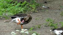 Wild Goose is Standing on One Foot and Cleans Itself. Slow Motion. Stock Footage