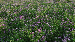 Blooming meadow of juicy clover at sunset Stock Footage