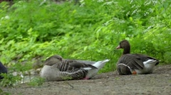 Grey Dove Passes by Two Geese. Slow Motion. Stock Footage
