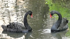 Two Beautiful Black Swans Swimming in the Lake. One Cleaning Himself. Stock Footage
