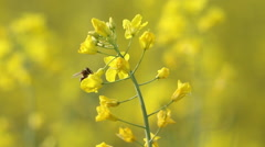 Yellow rape flowers, macro lens, Honey bee collecting pollen, selective focus Stock Footage