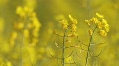 Yellow rape flowers, macro lens, Honey bee collecting pollen, selective focus Stock Footage