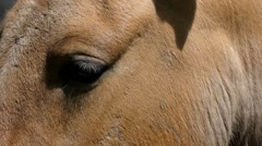 Eyes Brown Horse Closeup. Slow Motion. Stock Footage